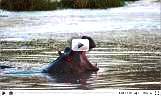 Смотреть видео-слайдшоу о бегемотах